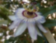 Passiflora 'jardin jungle 90' winter hardy passiflora