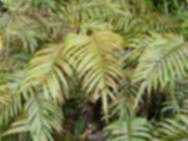 Blechnum montanum CHB11.NZ60, karlostachys jungle garden, garden to visit in normandie