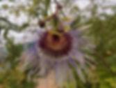 Passiflora 'jardin jungle 22', winter hardy passiflora