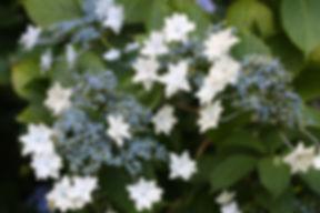 Hydrangea macrophylla 'Hanabi', Karlostachys Jungle Garden, place to visit in Normandy
