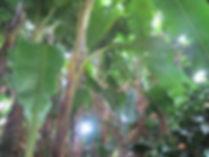 Musa itinerans xishuangbannaensis CHB&MV15.CH176