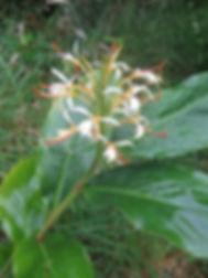 Hedychium yunnanense au jardin jungle, parc exotique a visiter