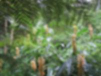 Lophosoria & Hedychium, le jardin jungle,parc botanique, haute-normandie