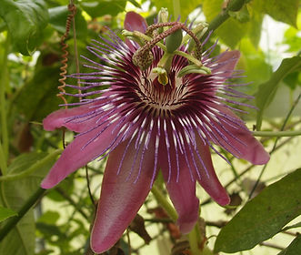 Passiflora 'Jardin Jungle 101' passiflore rustque du jardin jungle