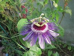 Passiflora 'Wilgen Marieke' au jardin jungle, jardin a visiter en normandie