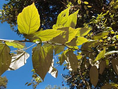 Rubus assamensis CHB14.CH79 (Pianma)