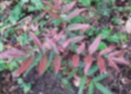 Mahonia bodinieri x fortunei au jardin exotique jardin jungle karlostachys