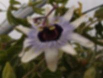 Passiflora 'jardin jungle 79', jardin jungle passiflores rustique
