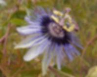 Passiflora 'jardin jungle 84'.JPG
