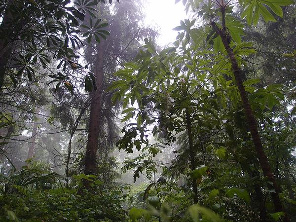 Schefflera delavayi CHB05.CH14, jardin jungle