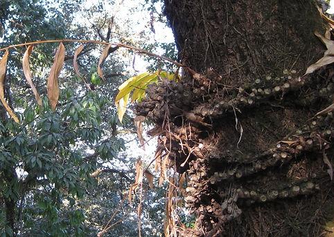 Hedychium epiphyte.jpg