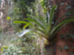 Bromeliaceae rustique, jardin jungle