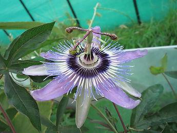 Passiflora hyb CHB15.X3, jardin exotique karlostachys