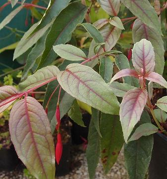 Fuchsia regia BBM19.BR257 (caparao).JPG