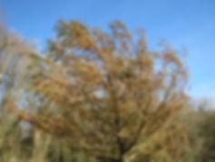 Taxodium huegelii (mucronatum) hardy form US, Karlostachys Jungle Garden,visit a garden in Normandy