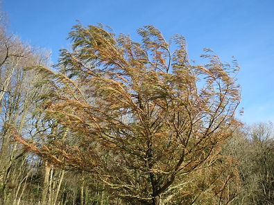 Taxodium huegelii (mucronatum) hardy form US, Karlostachys Jungle Garden,visit a garden in Normandy