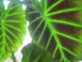 Colocasia 'Imperial Gigante', karlostachys jungle garden