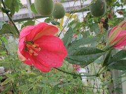 Passiflora mixta eriantha, jardin jungle, parc a visiter en Normandie