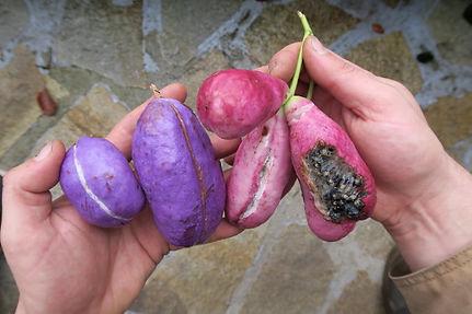 Akebia trifoliata & Holboellia sp CHB02.CH en fruit au jardin jungle, jardin a visiter en normandie