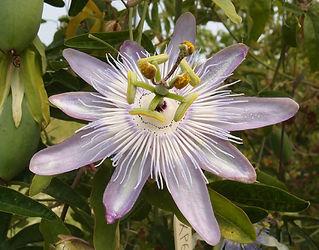 Passiflora 'jardin jungle 86', frost hardy passiflora