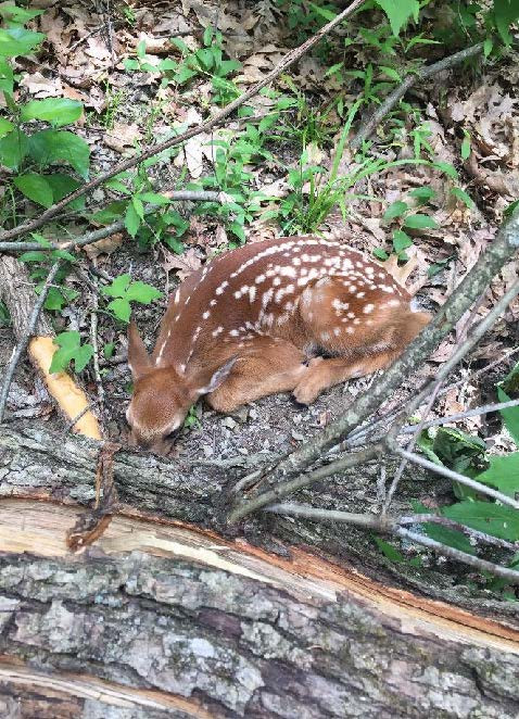 Fawn awaiting its mothers return
