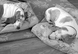 Hounds taking an afternoon snooze.