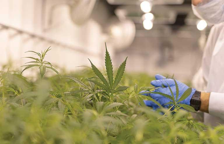 Canabis em Portugal,  soluções chave na mão  para seu novo projecto cannabis medicinal