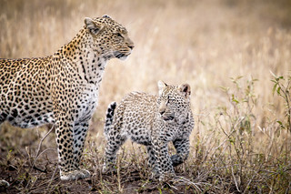 Leopards - Serengeti