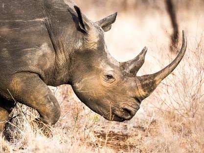 a-rhino-wanders-through-the-savannah-in-