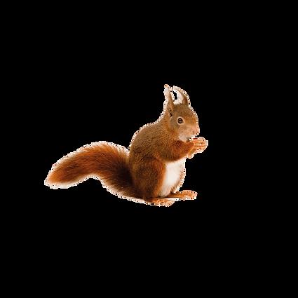 Eichhörnchen.png