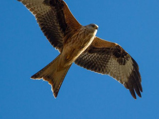 The Red Kite and Other Birds