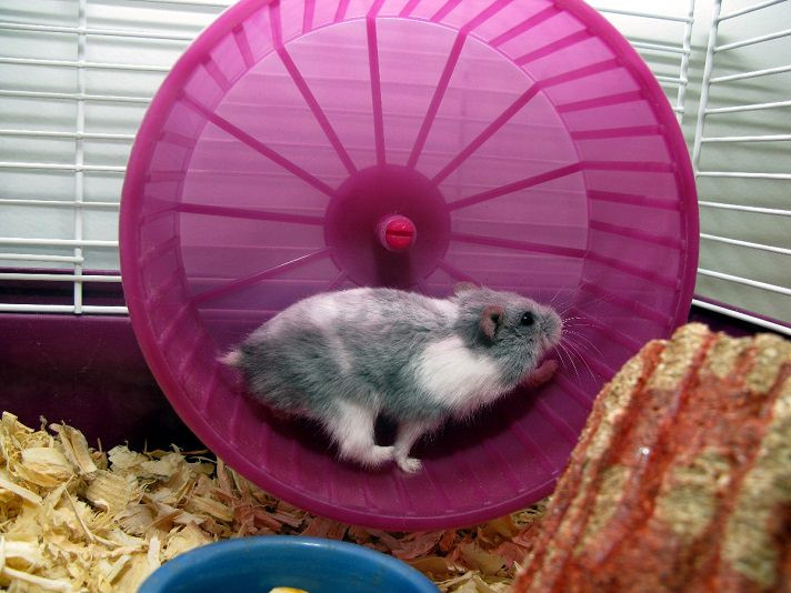 "Hamsters have been known to run for hours on the ""no where wheel"" before taking a break to eat then get back on it. (Photo courtesy of percha.com)"