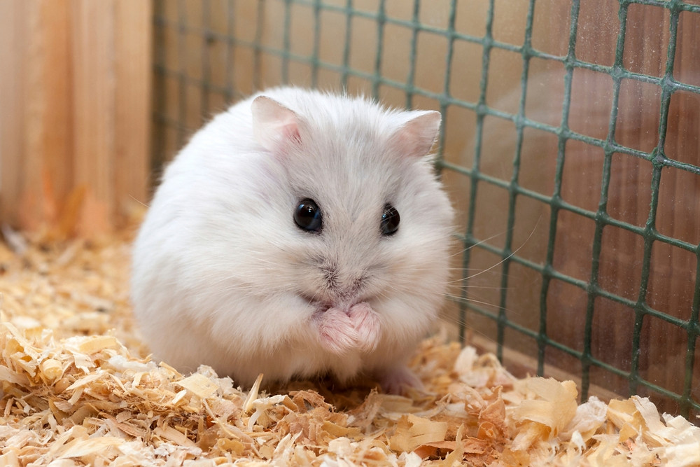 The hamster has long been a pet of choice for young ones. (Photo courtesy of Alcheron.com)