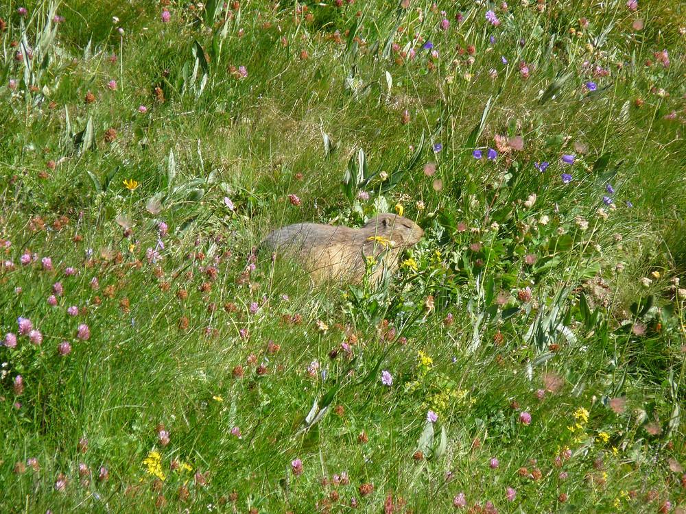 Marmotte en été, avant hibernation