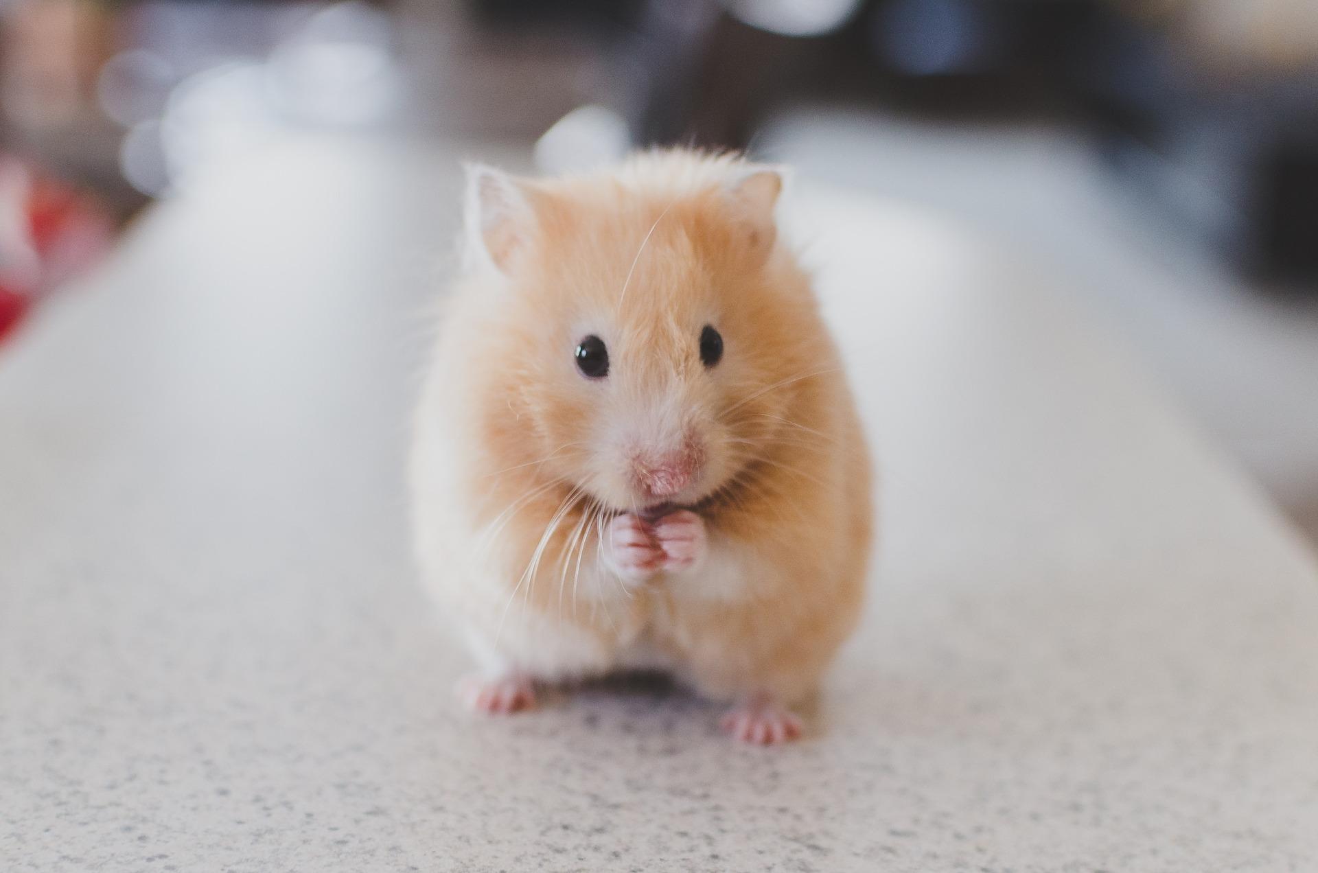 hamster-690108_1920