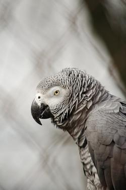 african-grey-parrot-1335424_1920