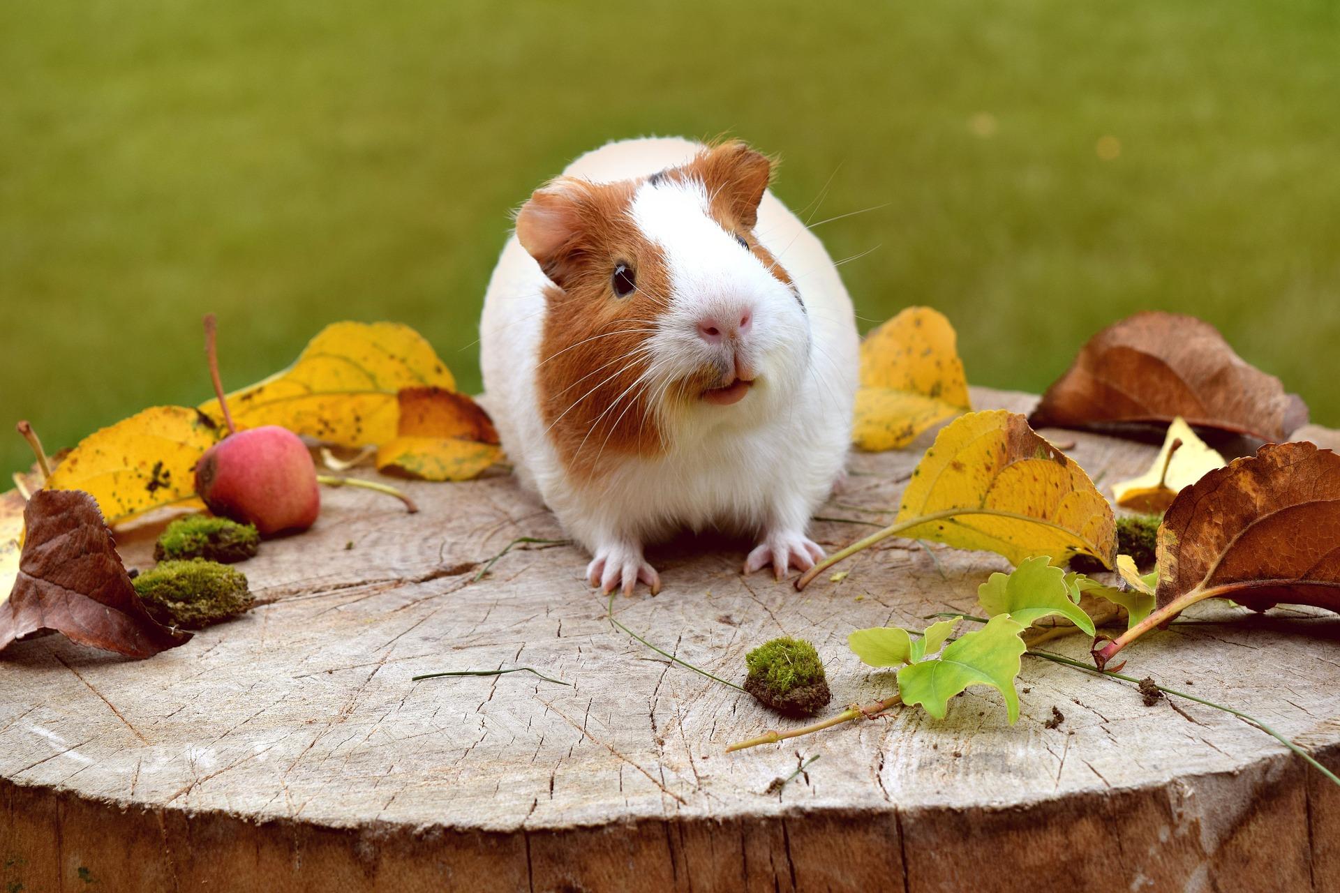 guinea-pig-1702972_1920