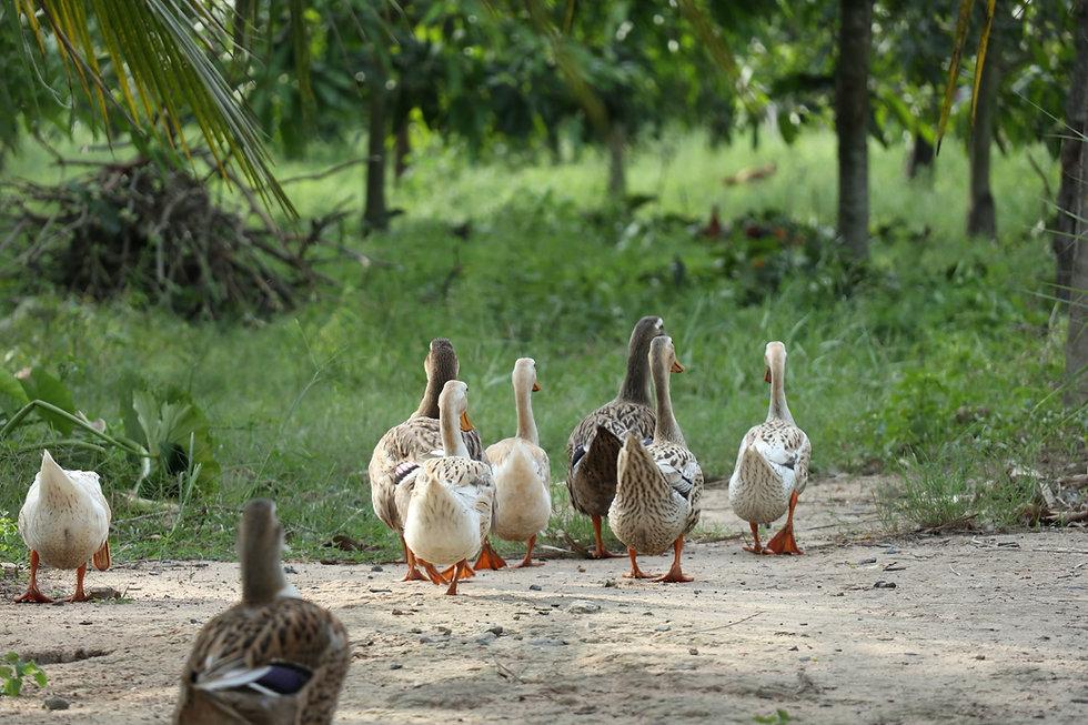 ducks-4230463.jpg