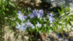 春のローズマリー