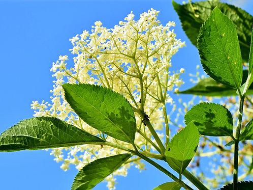 Sirup - Holunderblüte
