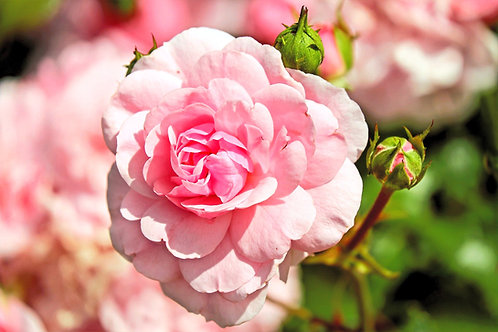 Sirup - Rose