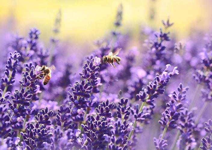 lavender-1537694_1920_edited.jpg