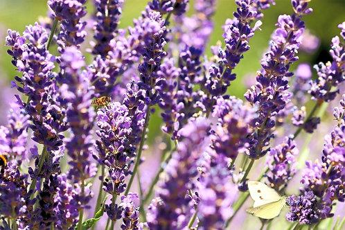 Sirup - Lavendel
