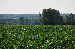 Corn in summer