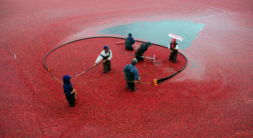 Racking Cranberries.jpg