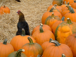 Pumpkins of Halfmoon Bay