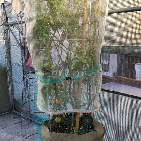 Protecting Tomato Plant from Rodents