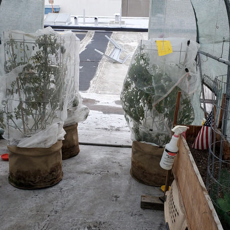 How I Conquer White Fly Infestation in my Greenhouse