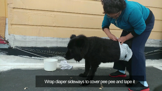 Diaper for Large Male Dog