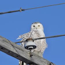 Snowy Owl-George Safranek.jpg